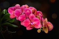 Rosa Orchideenblumen auf einem dunklen Hintergrund mit bokeh Effekt Niederlassungsrosa-Orchidee Phalaenopsis lizenzfreie stockfotos