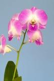 Rosa Orchideenblumen auf einem Pastellhintergrund Rosa Orchidee backgrou lizenzfreies stockbild