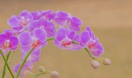 Rosa Orchideenblumen auf unscharfem Hintergrund Lizenzfreies Stockbild
