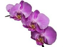 Rosa Orchideenhintergrund Stockfotografie