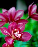 Rosa orchids Royaltyfri Fotografi