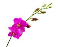 Rosa orchids. Royaltyfria Foton