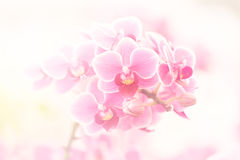 Rosa orchids Arkivbild