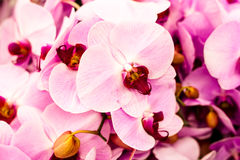 Rosa orchids Royaltyfri Foto