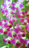Rosa orchids Arkivbilder