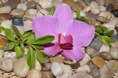 Rosa orchids Fotografering för Bildbyråer