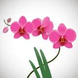 Rosa orchids Arkivfoto