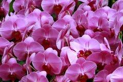 Rosa orchids Royaltyfria Bilder