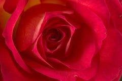 Rosa (orgoglio del Kenia) Fotografia Stock