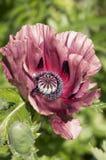 Rosa orientalische Mohnblume Lizenzfreies Stockbild