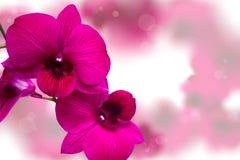 Rosa orkidé. Arkivbilder