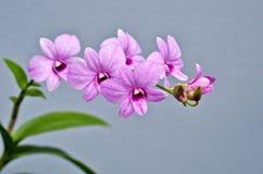 Rosa orkidé Arkivfoto