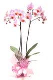 Rosa orkidé i en blomkruka Arkivbild