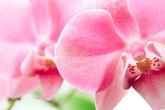 Rosa orkidé i mjuk färg Arkivfoton