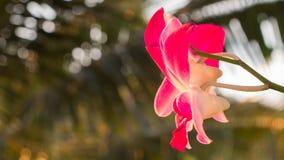 Rosa orkidé i sommarsäsong Arkivfoton