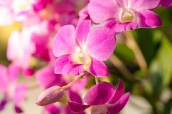 Rosa orkidé i trädgård med solljus Fotografering för Bildbyråer