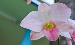 Rosa orkidé i trädgården på sjukhuset, friskhet av patienterna fotografering för bildbyråer