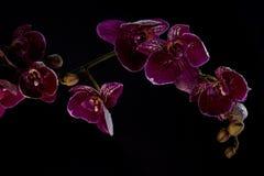 Rosa orkidé på en svart bakgrund Royaltyfria Foton