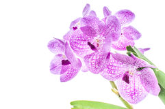 Rosa orkidé på en vit bakgrundsblomma Fotografering för Bildbyråer