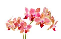 Rosa orkidé på isolerad vit bakgrund Arkivfoton