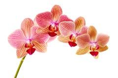 Rosa orkidé på isolerad vit bakgrund Royaltyfri Bild