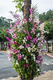 Rosa orkidé på träd i trädgårds- Thailand Arkivfoton