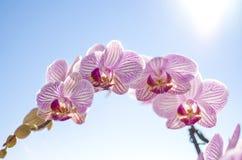 Rosa orkidé, Phalaenopsis Royaltyfri Foto