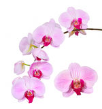 Rosa orkidé som isoleras Fotografering för Bildbyråer