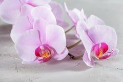 Rosa orkidéblomma över grå färgbetongbakgrund Royaltyfri Bild