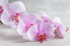 Rosa orkidéblomma över grå färgbetongbakgrund Arkivbilder