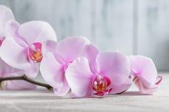 Rosa orkidéblomma över grå färgbetongbakgrund Royaltyfria Bilder