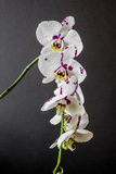 Rosa orkidéblomma Royaltyfri Foto