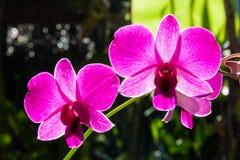 Rosa orkidéblomma Arkivfoto