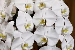 Rosa orkidéblomma Arkivfoton
