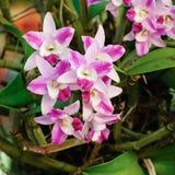 Rosa orkidéblommor Royaltyfri Bild