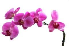 Rosa orkidéblommor, naturlig orkidéblomma Arkivbild
