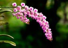 Rosa orkidéblommor - Rhynchostylis Arkivbild