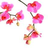 Rosa orkidéblommor som isoleras Fotografering för Bildbyråer