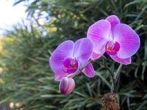 Rosa orkidéblomningfilial med knoppen i tropisk blom- trädgård arkivbilder