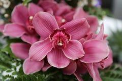 Rosa orkidécloseup Arkivfoto