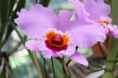 Rosa orkidéLaeliasincorana arkivbilder