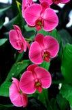 Rosa orkidér Arkivfoto