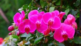 Rosa orkidér för Phalaenopsis i tropisk trädgård stock video