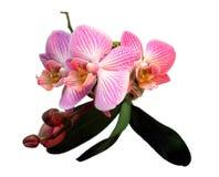 Rosa orkidér med knappar Arkivbilder