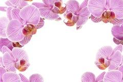 Rosa orkidér som bildram Arkivfoton