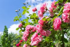 Rosa in ornamental garden with selective focus against a blue sky Royalty Free Stock Image