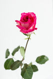 Rosa oscura del rosa en el florero claro Imagen de archivo