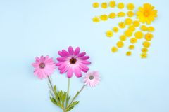 Rosa Osteospermum-Gänseblümchen oder Kap-Gänseblümchen und Chrysantheme coronari Stockbilder
