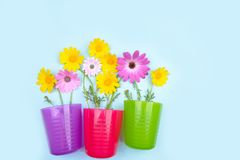 Rosa Osteospermum-Gänseblümchen oder Kap-Gänseblümchen und Chrysantheme coronari Lizenzfreie Stockbilder