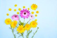 Rosa Osteospermum-Gänseblümchen oder Kap-Gänseblümchen und Chrysantheme coronari Stockfotografie